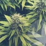 """Wat is de """"V"""" familie van cannabinoïden?"""