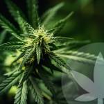 Wat is THC (tetrahydrocannabinol)?